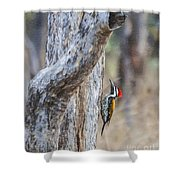 Black-rumped Flameback Aka Lesser Goldenback Shower Curtain