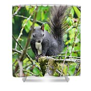 Black Squirrel In The Cherry Tree Shower Curtain