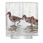 Black-tailed Godwits Shower Curtain