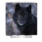 Black Wolf Portrait Shower Curtain