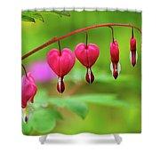 Bleeding Hearts - Lamprocapnos-spectabilis Shower Curtain