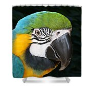 Blue And Gold Macaw Freehand Painting Square Format Shower Curtain