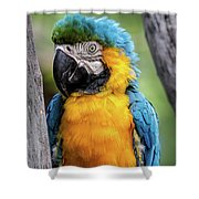 Blue And Yellow Macaw Portrait  Shower Curtain