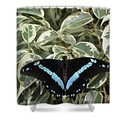 Blue-banded Swallowtail Butterfly Shower Curtain