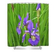 Blue Flag Iris-1  Shower Curtain