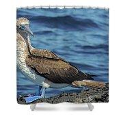 Blue-footed Booby  Puerto Egas James Bay Santiago James Island Galapagos Islands Shower Curtain