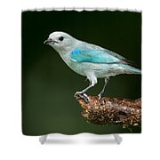 Blue-gray Tanager Thraupis Episcopus Shower Curtain