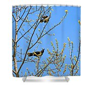 Blue Jay Mobbing A Crow Shower Curtain