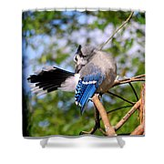 Blue Jay Preening Shower Curtain