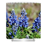 Blue Lupines Shower Curtain