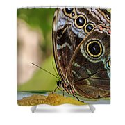 Blue Morpho Butterfly Morpho Peleides  Shower Curtain