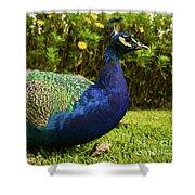 Blue Peacock Shower Curtain