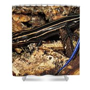 Blue Tailed Skink Shower Curtain