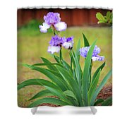 Blue Violet Irises  Shower Curtain