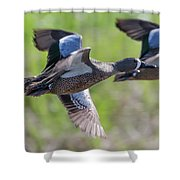 Blue-winged Teal In Flight 3 Shower Curtain