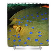 Bluespotted Ribbontail Ray  Shower Curtain