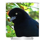 Boat Tailed Grackle Close Up Shower Curtain