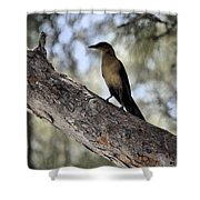 Boat - Tailed Grackle  Shower Curtain