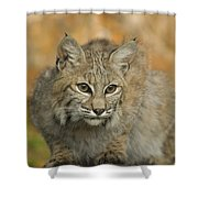 Bobcat Felis Rufus Shower Curtain by Grambo Photography and Design Inc.