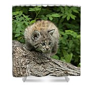 Bobcat Kitten Exploration Shower Curtain by Sandra Bronstein