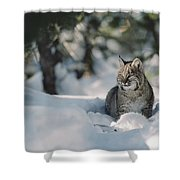 Bobcat Lynx Rufus Adult Resting In Snow Shower Curtain by Michael Quinton
