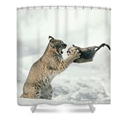 Bobcat Lynx Rufus Capturing Muskrat Shower Curtain by Michael Quinton