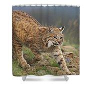 Bobcat Stalking North America Shower Curtain by Tim Fitzharris