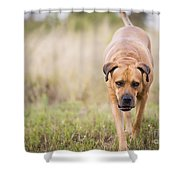 Boerboel Dog Shower Curtain