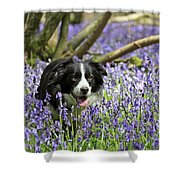 Border Collie In Bluebells Uk Shower Curtain