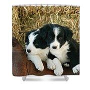 Border Collie Puppies Shower Curtain
