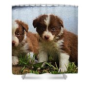 Border Collies  Shower Curtain