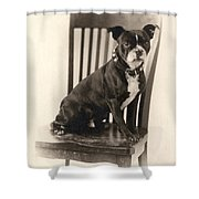 Boxer Sitting On A Chair Shower Curtain