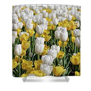 Breathtaking Field Of Blooming Yellow And White Tulips Shower Curtain