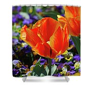 Bright And Colorful Orange And Red Tulip Flowering In A Garden Shower Curtain