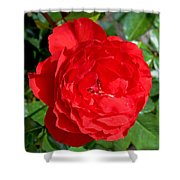 Bright Red Rose At Pilgrim Place In Claremont-california  Shower Curtain
