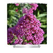 Brilliant Pink Blooming Phlox Flowers In A Garden Shower Curtain