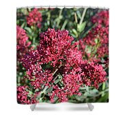 Brilliant Red Blooming Phlox Flowers In A Garden Shower Curtain