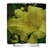 Brilliant Yellow Daylilies Flowering In A Garden Shower Curtain
