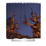 Bristlecone Pines At Sunset With A Rising Moon Shower Curtain