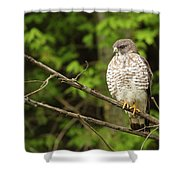 Broad Winged Hawk On The Lookout Shower Curtain
