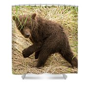 Brown Bear Cub Turns To Look Back Shower Curtain
