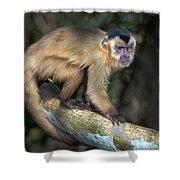 Brown Capuchin Monkey Cebus Apella Shower Curtain