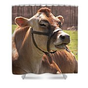 Brown Cow Chewing Shower Curtain