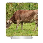 Brown Cow Grazing Shower Curtain