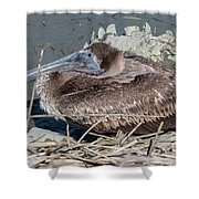 Brown Pelican 3 March 2018 Shower Curtain by D K Wall