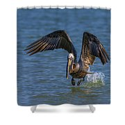 Brown Pelican Taking Off Shower Curtain