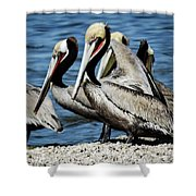 Brown Pelicans Preening Shower Curtain