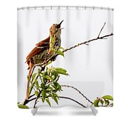 Brown Thrasher - I Am Here Shower Curtain
