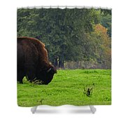 Buffalo In Spring Grass Shower Curtain