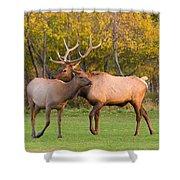 Bull And Cow Elk - Rutting Season Shower Curtain